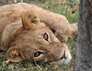 Löwenjunges - Moremi, Botswana