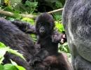 Berggorilla - Virunga, DR Kongo