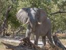 Elefant - Xakanaxa Campsite, Moremi